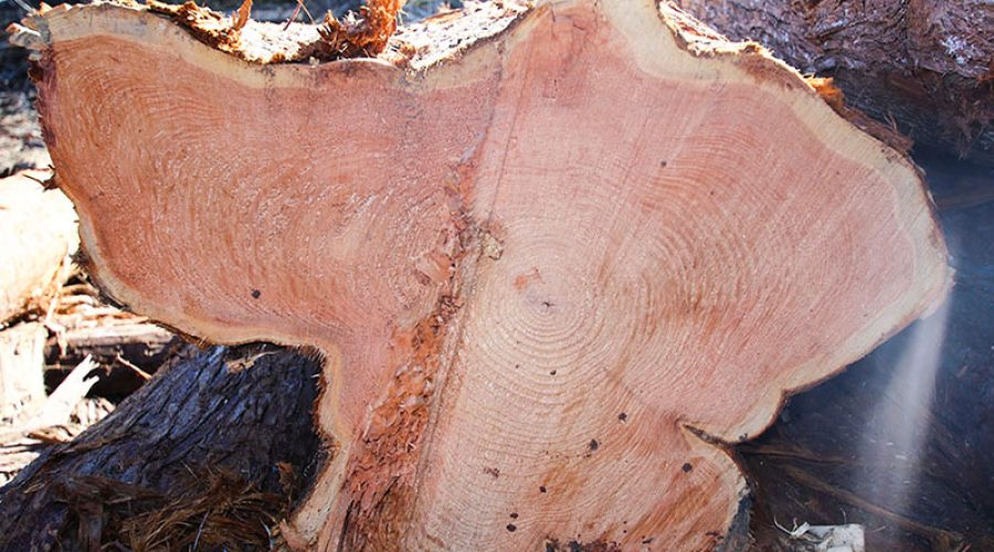 Interesting Facts – Tree Rings