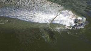 Fraser river fall chinook